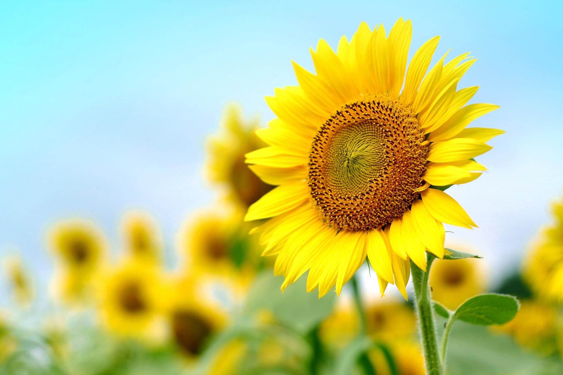 青空にのびるひまわりの花